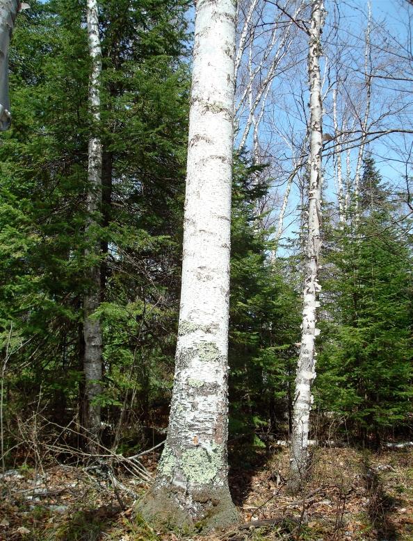 Wabanaki Birch Barks Beaverbarkcanoes